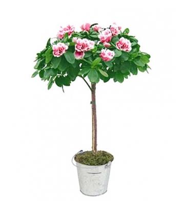 azalée à fleurs roses
